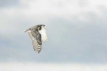 Snowy owl (Bubo scandiacus) in flight; Quebec, Canada