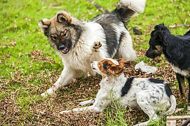 Dogs fighting in a meadow; Otavalo, Imbabura, Ecuador