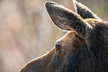Moose cow (Alces americanus) watching ahead; Quebec, Canada