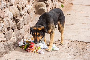 A dog stands by a ripped open garbage bag with refuse on the ground and has a guilty look; Otavalo, Imbabura, Ecuador