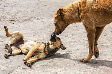 Dogs playing in the street; Otavalo, Imbabura, Ecuador