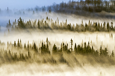 Spruce forest with morning mist and sun rays; Quebec, Canada