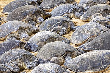 Numerous Green sea turtles (Chelonia mydas) sleeping on the sand on the beach; Kihei, Maui, Hawaii, United States of America