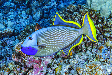 Male Bluegill Triggerfish (Xanthichthys auromarginatus) with an erect spinous dorsal fin photographed under water off Maui, Hawaii, USA. He was circling above his prepared spawning area suggesting that this is a courtship display; Maui, Hawaii, United States of America