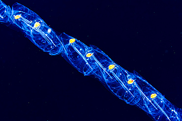A chain of salps (Salpa sp.) that was photographed under water during a blackwater dive off the Kona coast, the Big Island; Island of Hawaii, Hawaii, United States of America