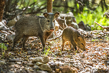 Female Javalina, or Collared Peccary (Pecari tajacu), with young foraging for acorns at Cave Creek Ranch in the Chiricahua Mountains near Portal; Arizona, United States of America