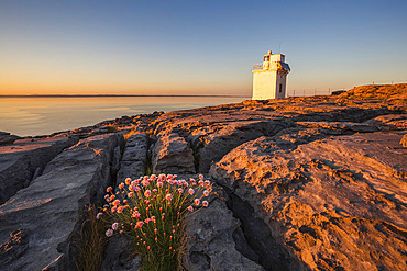 Flowers between the cracks of the Burren limestone with Black Head Lighthouse in the background and the Atlantic ocean at sunset in summer; County Clare, Ireland