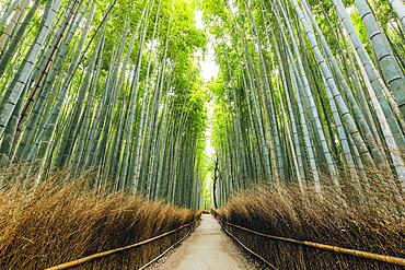Kameyama bamboo forest; Kyoto, Kansai, Japan