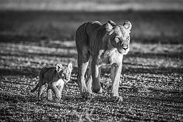 A lioness (Panthera leo) walks down a gravel airstrip next to her young cub. They both have golden coats, made to glow in the warm early morning light. Shot with a Nikon D850 in Serengeti National Park; Tanzania