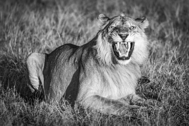 A male lion (Panthera leo) shows the Flehmen response by opening his mouth wide as if he were roaring. He has a golden coat that glows in the warm early morning light. Shot with a Nikon D850 in Serengeti National Park; Tanzania