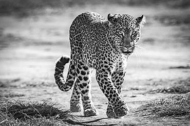 A leopard (Panthera pardus) walks towards the camera on a sandy track. It has black spots on its brown fur coat and is raising its paw to take the next step. Shot with a Nikon D850 in the Masai Mara; Kenya