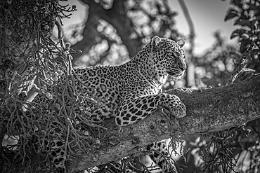 A leopard (Panthera pardus) lies on the branch of a tree with its head up. It has black spots on its brown fur coat and is looking for prey. Shot with a Nikon D850 in the Masai Mara; Kenya