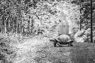 A Galapagos tortoise (Geochelone nigrita) lumbers slowly across a long, straight dirt road that stretches off to the horizon. Beyond the grass verge, there is dense forest on either side. Shot with a Nikon D810 in the Galapagos Islands; Galapagos Islands, Galapagos, Ecuador