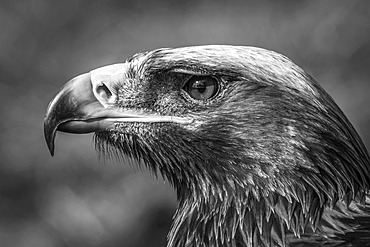 Close-up of a golden eagle's (Aquila chrysaetos) head with a catchlight in its eye in bright sunshine against a blurred grassy background. Shot with a Nikon D800 at Battle Abbey; Battle, East Sussex, England,