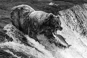 A brown bear (Ursus arctos) about to catch a salmon in its mouth at the top of Brooks Falls, Alaska. The fish is only a few inches away from its gaping jaws. Shot with a Nikon D800 in Alaska; Kodiak, Alaska, United States of America