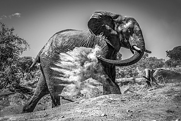 An African bush elephant (Loxodonta africana) is throwing dust over itself with its trunk on a bare earth slope with trees in the background under a clear sky. It has mud stains on its trunk, and the dust is exploding in a cloud against its wrinkled grey skin. Shot with a Nikon D810 in Chobe National Park; Botswana