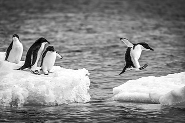 Three Adelie penguins (Pygoscelis adeliae) watch another jumping between two ice floes. They have black heads and backs with white bellies. Shot with a Nikon D810 on Brown Bluff; Antarctica
