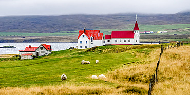 Pastoral scene with grazing sheep (Ovis aries) in the foreground and red roofs on a church and farm buildings along the fjord; Strandabyggo, Westfjords, Iceland