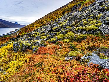 Colourful tundra on the hillside along the Alftafjorour fjord; Sudavik, Westfjords Region, Iceland