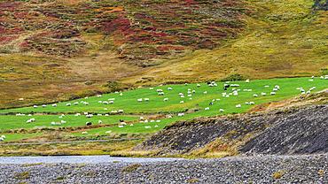 A flock of sheep (Ovis aries) grazing on lush, green farmland; Sudavik, Westfjords, Iceland