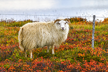 Sheep (Ovis aries) standing on colourful foliage looking at the camera; Norourping, Northeastern Region, Iceland