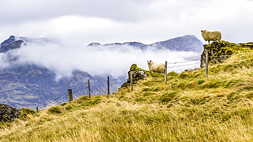 Two sheep (Ovis aries) stand on rocky outcrops on a hillside looking out at the landscape; Rangarping eystra, Southern Region, Iceland