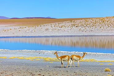Vicunas (Vicugna vicugna) near a lake in the Altiplano; Potosi, Bolivia