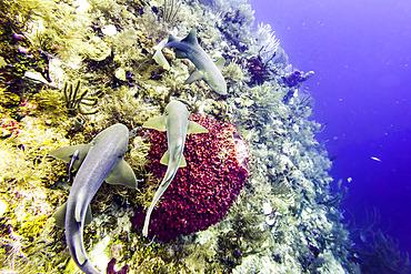 Nurse sharks (Ginglymostoma cirratum), viewed while scuba diving at Silk Caye, Placencia Peninsula; Belize