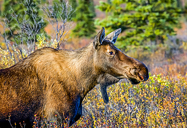 Close-up image of a cow moose (Alces alces) in Denali State Park during the rutting season; Alaska, United States of America