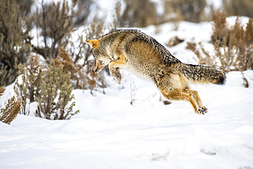 Coyote (Canis latrans) leaps in the air while hunting mice in Yellowstone National Park; Wyoming, United States of America