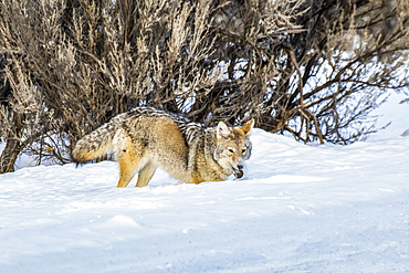 Coyote (Canis latrans) with a freshly captured vole in its mouth in Yellowstone National Park; Wyoming, United States of America