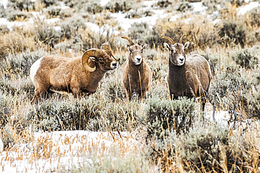 Bighorn Sheep ram (Ovis canadensis) courts a pair of ewes during the rut in the North Fork of the Shoshone River valley near Yellowstone National Park; Wyoming, United States of America