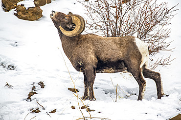 Bighorn Sheep ram (Ovis canadensis) performs lip curl (flehmen display) in the North Fork of the Shoshone River valley near Yellowstone National Park; Wyoming, United States of America