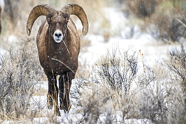 Bighorn Sheep ram (Ovis canadensis) approaches through a sagebrush meadow on a snowy day in the North Fork of the Shoshone River valley near Yellowstone National Park; Wyoming, United States of America