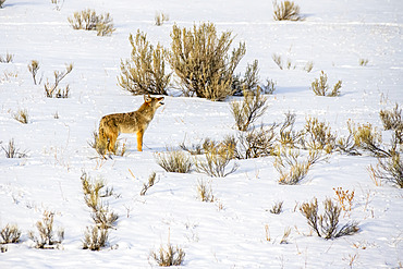 Lone Coyote (Canis latrans) stands and howls in wintry landscape of Yellowstone National Park; Wyoming, United States of America