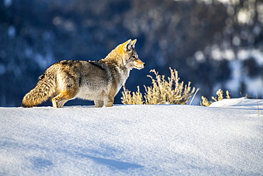 Coyote (Canis latrans) standing in deep snow in Yellowstone National Park; Wyoming, United States of America