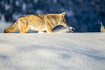 Coyote (Canis latrans) plows through deep snow while hunting mice in Yellowstone National Park; Wyoming, United States of America