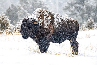 Falling snow clings to an American Bison bull (Bison bison) standing in a meadow in the North Fork of the Shoshone River valley near Yellowstone National Park; Wyoming, United States of America