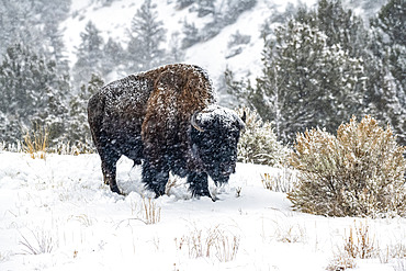 American Bison bull (Bison bison) on a snowy day in the North Fork of the Shoshone River valley near Yellowstone National Park; Wyoming, United States of America