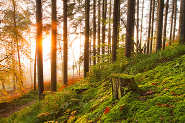 Tree stump and forest floor in woodland at sunrise covered in fog; Fermoy, County Cork, Ireland