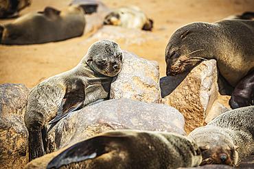 Cape Fur Seals (Arctocephalus pusillus) sleeping in the sun, Cape Cross Seal Reserve, Skeleton Coast; Namibia