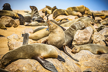 Cape Fur Seals (Arctocephalus pusillus) at Cape Cross Seal Reserve, Skeleton Coast; Namibia