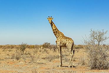 Giraffe (Giraffa), Etosha National Park; Namibia