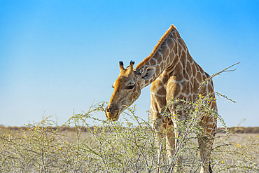 Giraffe (Giraffa) eating foliage from a plant, Etosha National Park; Namibia