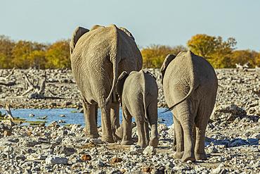 African Elephant family (Loxodonta), Etosha National Park; Namibia