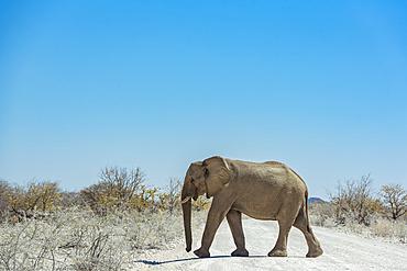 African Elephant (Loxodonta) walking across a road, Etosha National Park; Namibia