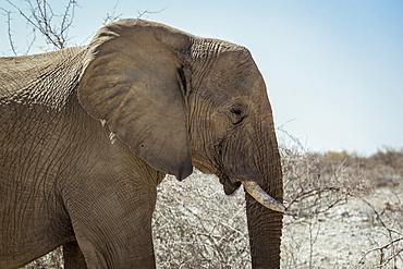 African Elephant (Loxodonta), Etosha National Park; Namibia