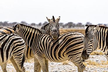 Herd of Plains Zebra (Equus quagga), Etosha National Park; Namibia