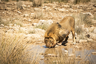 Lion (Panthera leo) drinking at a waterhole, Etosha National Park; Namibia