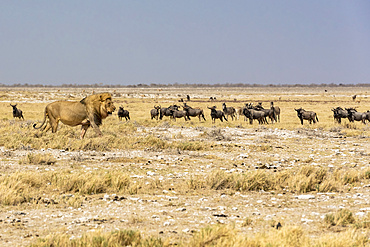 Lion (Panthera leo) passing in front of a herd of Blue Wildebeests (Connochaetes taurinus), Etosha National Park; Namibia